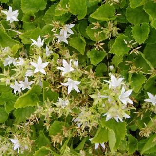 Hängeglockenblume E.H.Frost, Glockenblume, Bodendecker