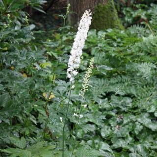 Silberkerze White Pearl, Blütenkerzen, Schattenpflanze