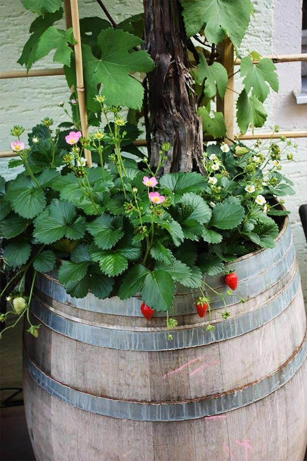 Erdbeeren-als-Unterbepflanzung