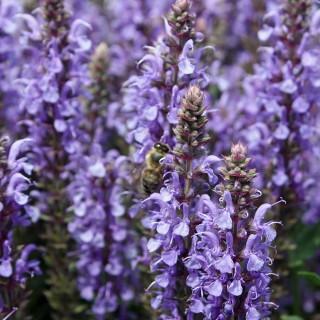 Salbei Blauhügel, Salvia, Bienenweide