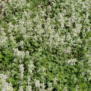 Katzenminze, Nepeta, Blütenstaude, Duftpflanze
