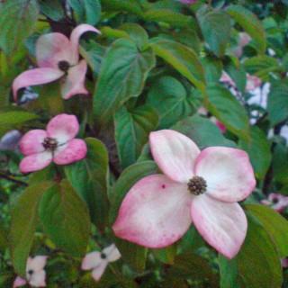 Blumenhartriegel Satomi, Cornus, Blütengehölz, Frühling