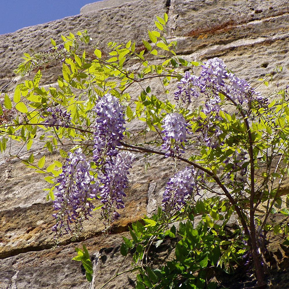 Blauregen Wisteria sinensis Schnellwachsende blauviolett