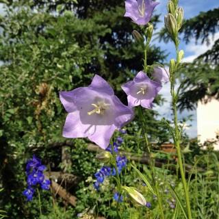 Pfirsichblättrige Glockenblume Grandiflora Coerulea, Prachtstaude