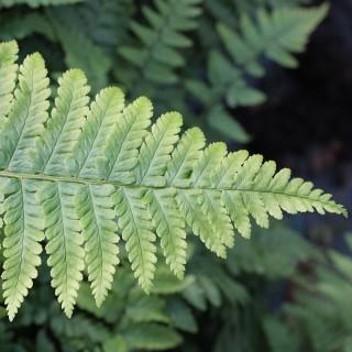 Schwarzschuppenfarn, Farn, Blattschmuckpflanze