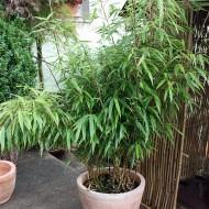 Gartenbambus als Kübelpflanze
