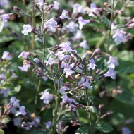Steinquendel Blue Cloud, Blütenpflanze