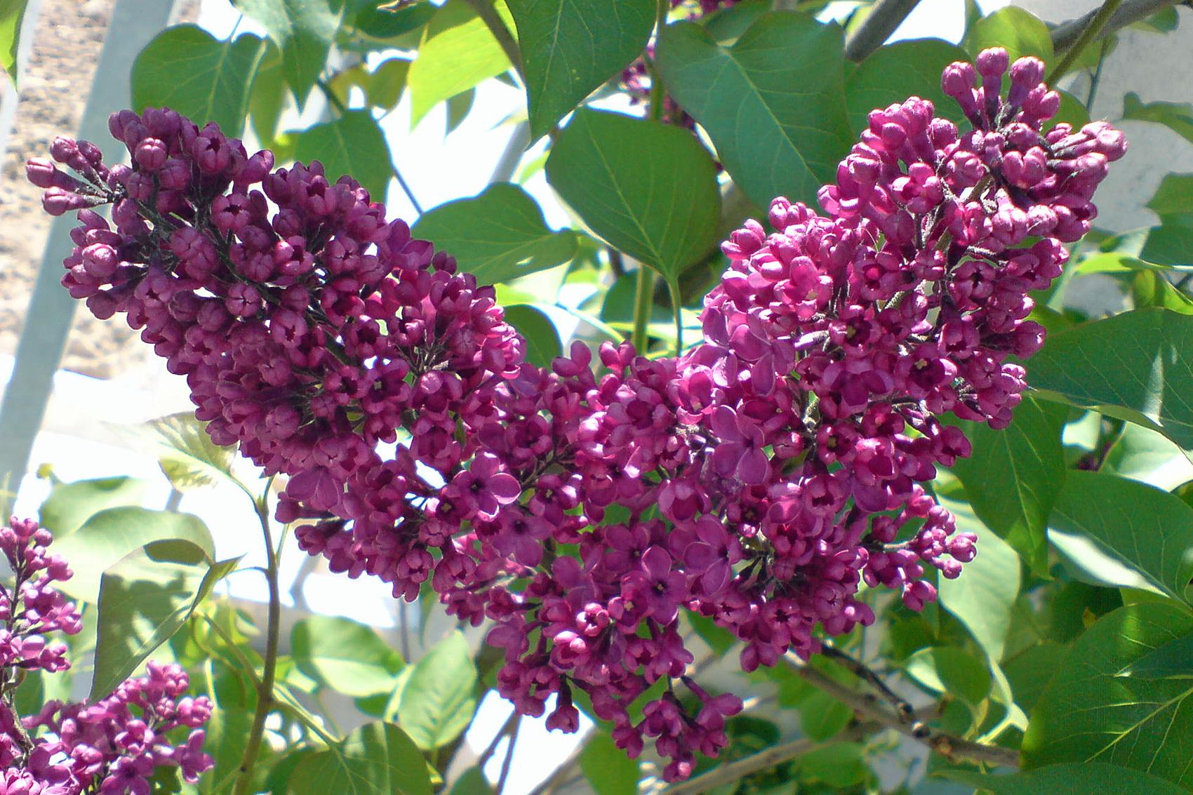 Duftpflanzen