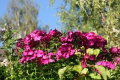 Gärtnertipp Phlox