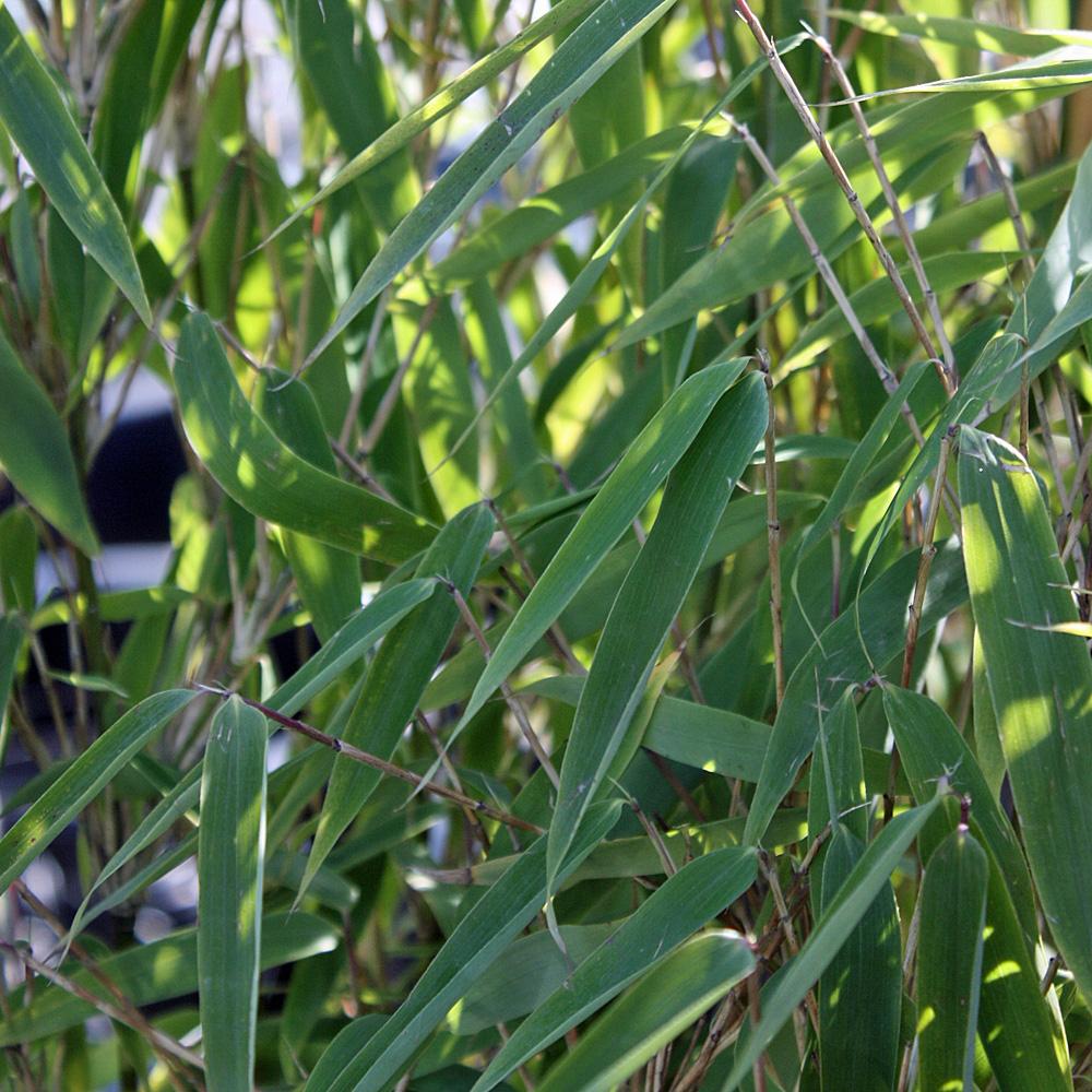 Blauer Bambus ♣ schimmert in verschiedenen Blautönen ♣ bis 10° ♣ frische Samen