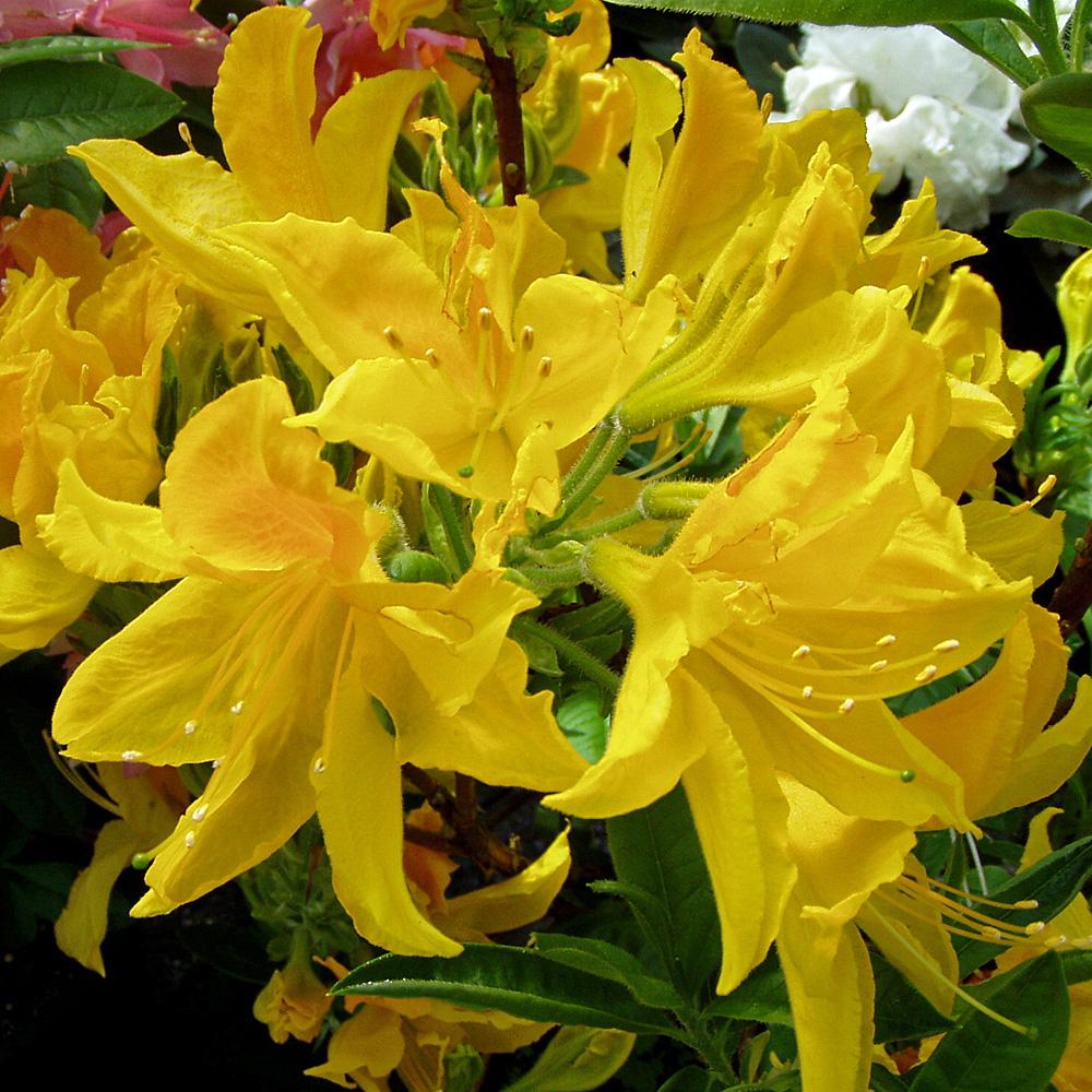 sommergr ner rhododendron luteum 39 goldtopas 39 native plants. Black Bedroom Furniture Sets. Home Design Ideas