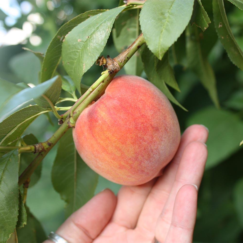 Prunus-Kernechter-v-VorgeborgeGnHn36uiACtxB