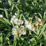 Perlkörbchen, Steingartenpflanze, Bodendecker