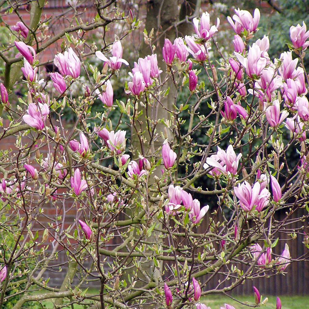 Magnolie Kleinwüchsig magnolie susan hochstamm magnolia liliiflora susan