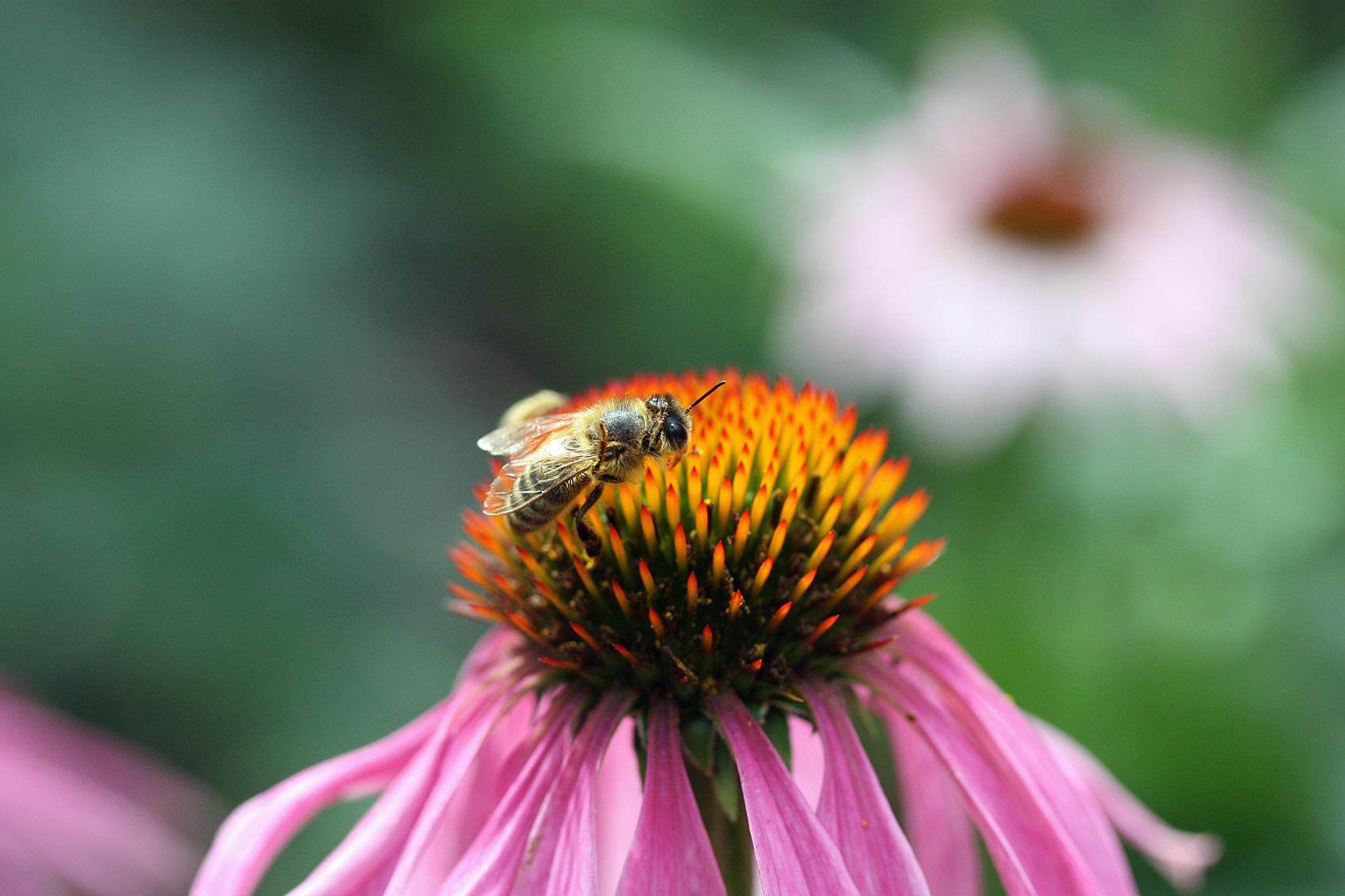 Biene-Echinacea