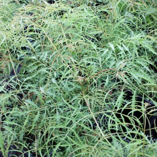 Schattenpflanze, Geißbart, Waldpflanze