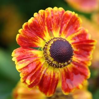 Sonnenbraut Königstiger, Schnittblume