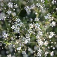 Schleierkraut Schneeflocke, Gypsophila, Beetstaude