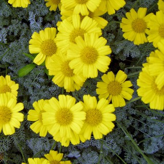 Bergkamilie, Kamilie, Bodendecker, Blütenstaude