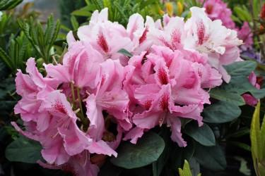 Großblumige Rhododendron Hybriden