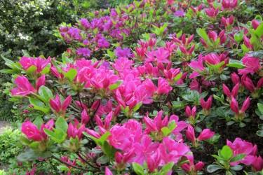 Zwerg- & Wildrhododendren