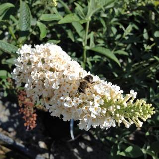 Sommerflieder, Buddleja, Bienenweide, Schmetterlingsmagnet