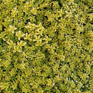 Thymian Anderson, Steingarten, Polsterpflanze, Bodendecker