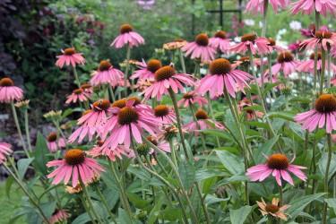 Sonnenhut (Echinacea) für Garten und Balkon