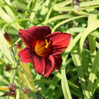 Taglilie Little Joy, Hemerocallis, Beetpflanze