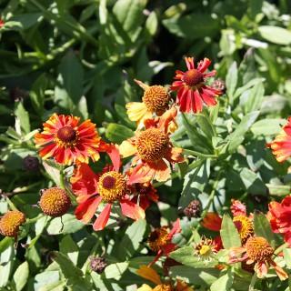Sonnenbraut Kleiner Fuchs, Beetstaude, Terassenbepflanzung