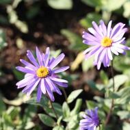 Aster Mönch, Blütenpflanze, Herbst