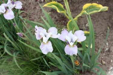 Schwertlilie (Iris) für den Garten