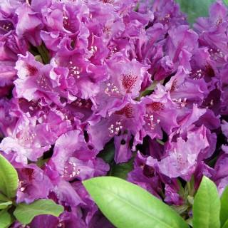 Rhododendron Azurro, Azalee, Moorbeetpflanze, immergrün