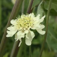 Gelbe Skabiose, Scabiosa, Blütenstaude