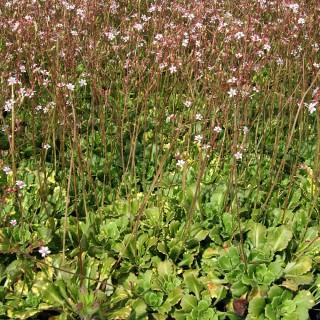 Porzellanblümchen Aureopunctata, Saxifraga, Steingarten