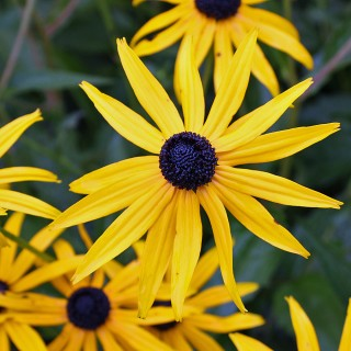 Sonnenhut Goldsturm Blüte