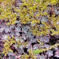 Fettblatt Purpureum, Sedum, Bodendecker, Steingarten