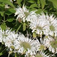 Indianernessel Schneewittchen, Monarda, Blütenstaude