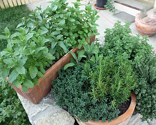 Kräuter als Topf- und Balkonkastenpflanze