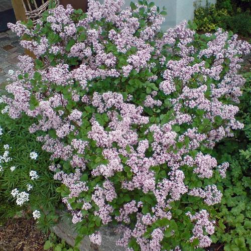 5 Kleinbleibende Blütensträucher