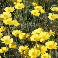 Färberkamilie, Kamilie, Bienenweide, Duftpflanze