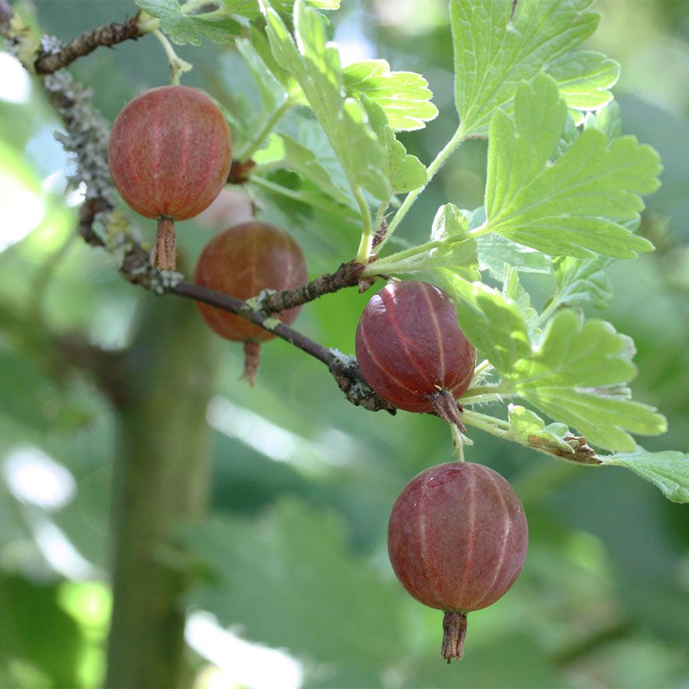 Stachelbeere-Rot