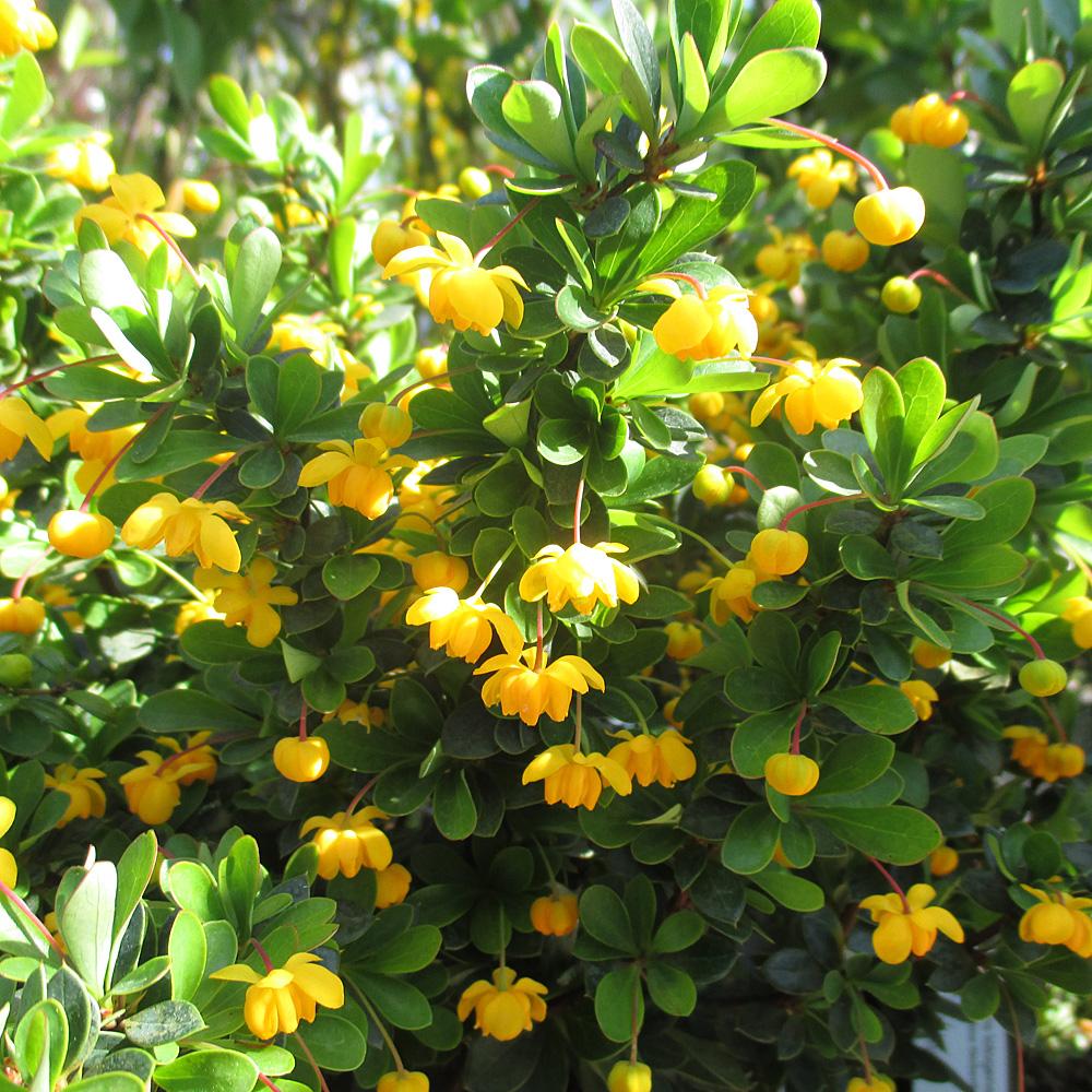polsterberberitze berberis buxifolia nana berberitzen. Black Bedroom Furniture Sets. Home Design Ideas