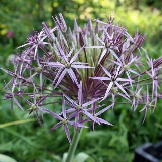 Sternkugellauch, Kugellauch, Lauch, Zwiebelpflanze