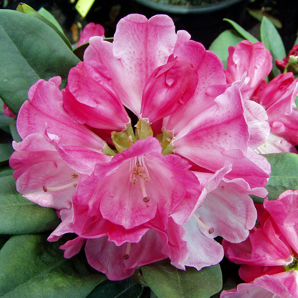 rhododendron yakushimanum 39 morgenrot 39 bl tezeit mitte bis. Black Bedroom Furniture Sets. Home Design Ideas