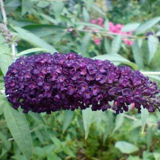 Sommerflieder, Buddleja, Bienenmagnet, Schmetterlingsstrauch