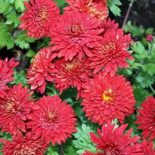Winteraster Granatschopf, Herbstblüher