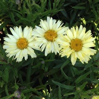 Sommermargarite Goldfinch, Margarite, Blütenstaude