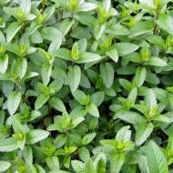 Pfefferminze, Minze, Mentha, Teepflanze, Heilpflanze