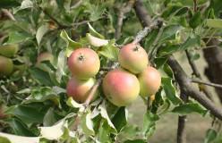 Apfelbäume pflanzen und pflegen